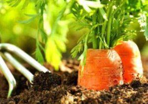 Как посеять морковь весной