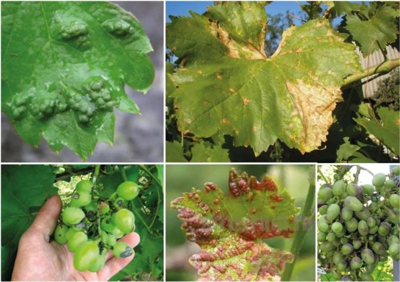 Опрыскивание винограда весной от вредителей и болезней