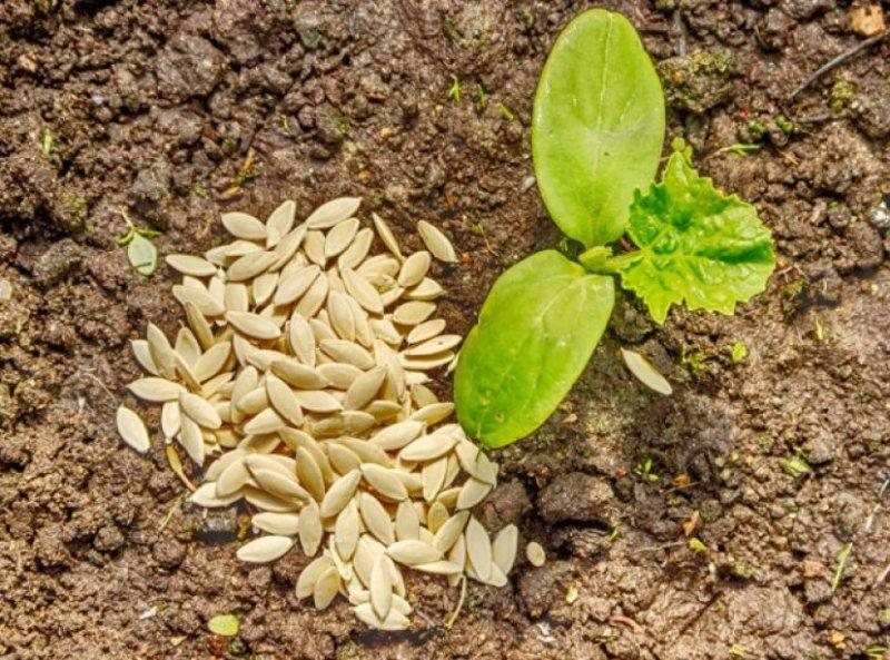когда сажать клещевину в открытый грунт семенами