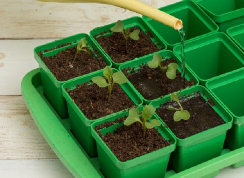 Как выращивать в открытом грунте: полив