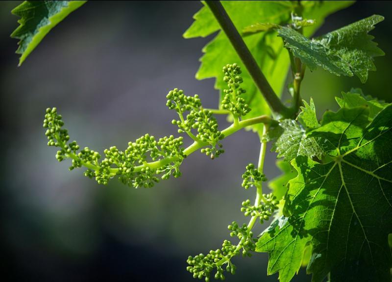 Опрыскивание винограда в период цветения от вредителей и болезней