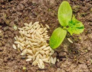 Когда сеять огурцы в открытый грунт семенами