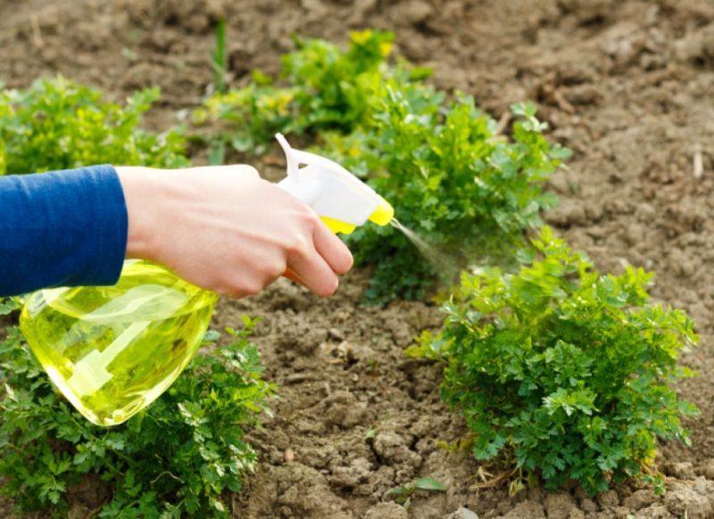 Как вырастить черешковый сельдерей