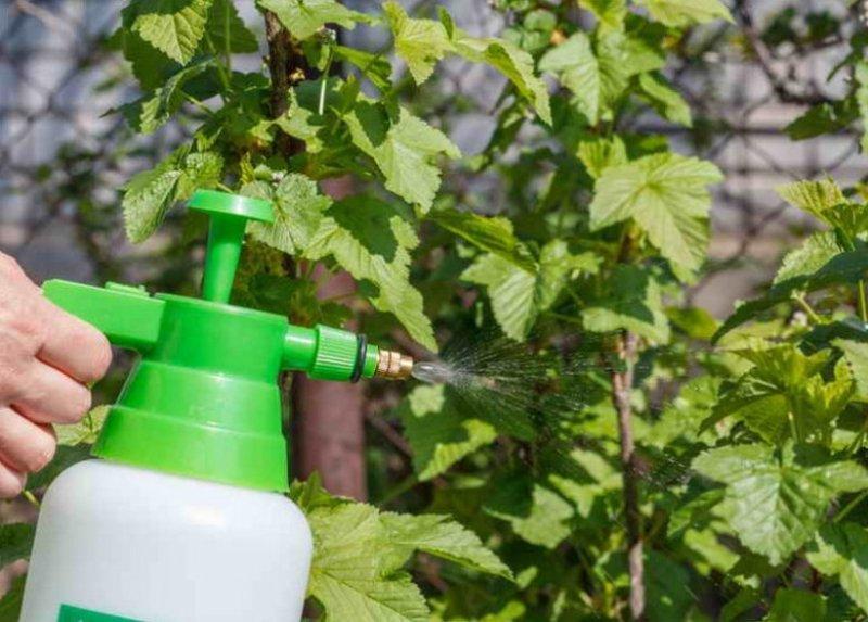 Галловая тля на смородине: чем лечить кусты