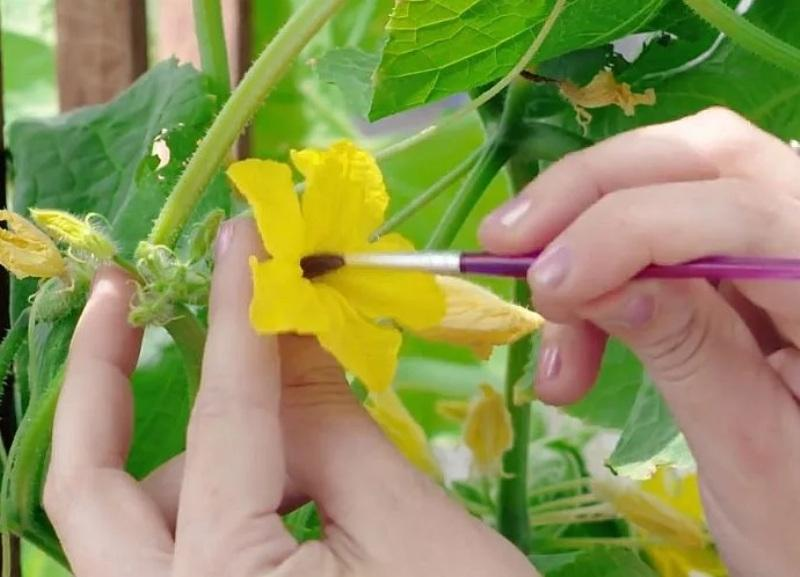 Огурцы пустоцветы: что делать?