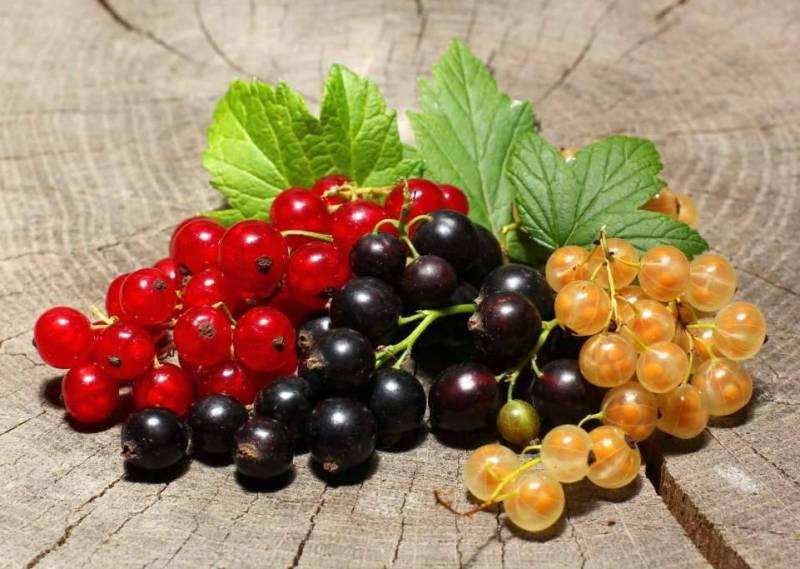 Чем можно провести обработку против тли кустов смородины после сбора урожая