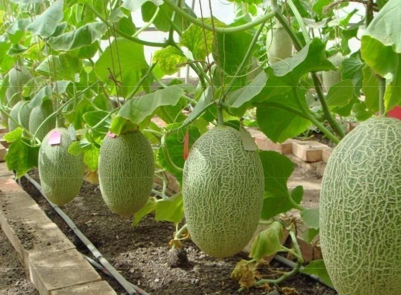 Как вырастить дыню в открытом грунте