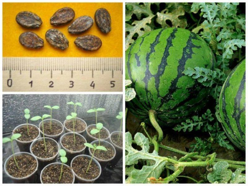 Как вырастить в открытом грунте