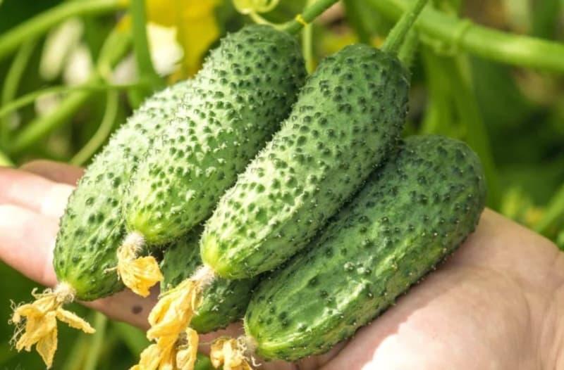 Как продлить плодоношение огурцов