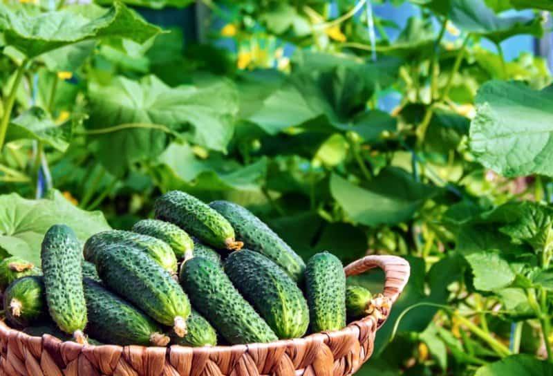 Как продлить плодоношение огурцов в августе
