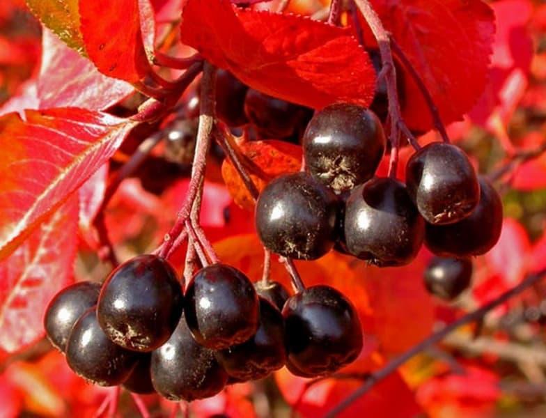 Что приготовить из черноплодной рябины на зиму рецепты