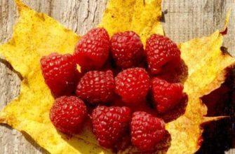 Посадка малины осенью: как и когда посадить
