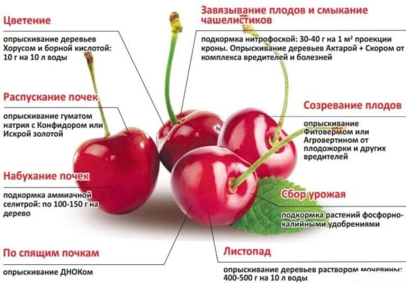 Чем подкормить вишню весной Этапы подкормок