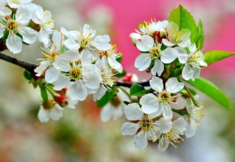 Чем подкормить вишню весной во время цветения