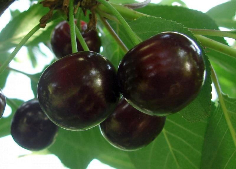 дюки вишне-черешневые гибриды