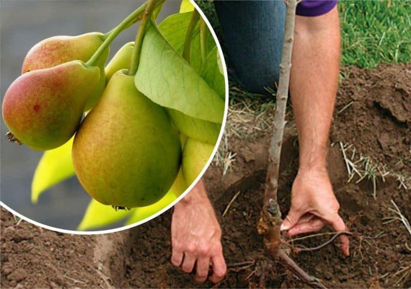 как посадить грушу по регионам