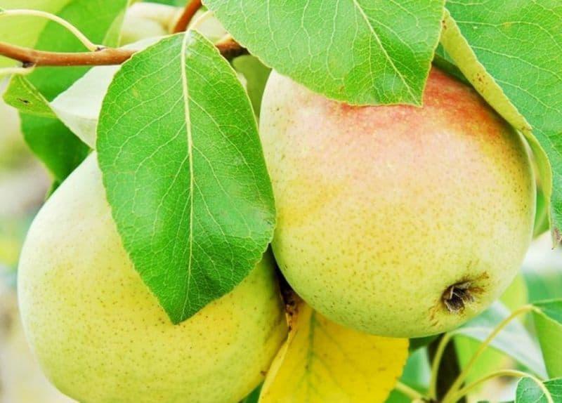 как посадить грушу Челябинскую зимнюю