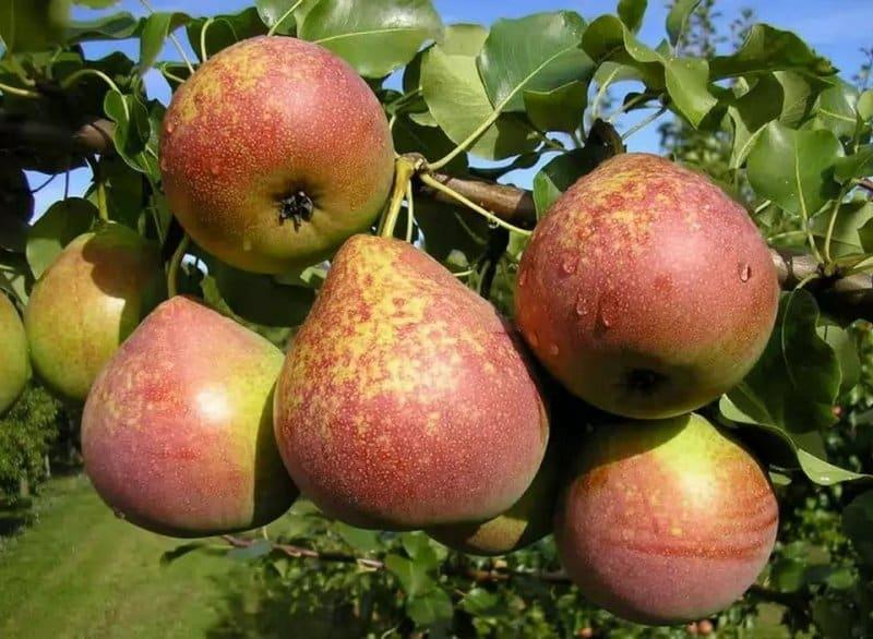 как посадить грушу Мраморную