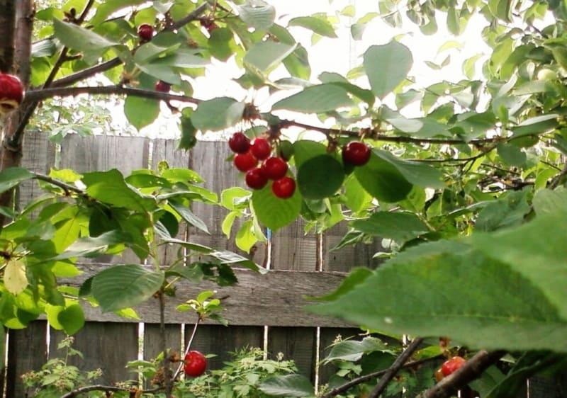 дюки вишне-черешневые гибриды уход