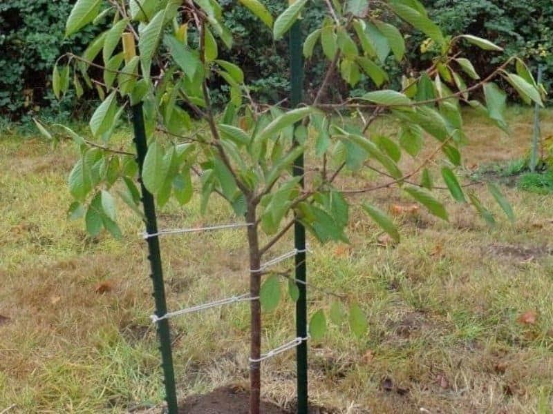 дюки вишне-черешневые гибриды высадка в грунт