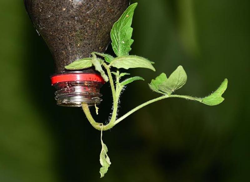 Как и в какой таре вырастить помидоры вверх корнями