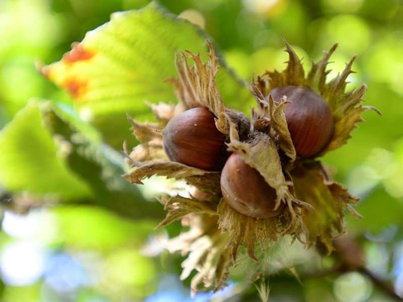 Орех фундук выращивание