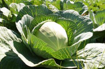 Как выращивать белокочанную капусту