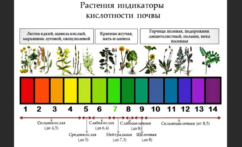 Как узнать кислотность почвы по растениям
