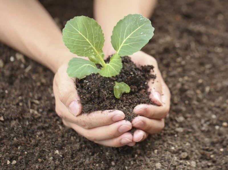 Как выращивать белокочанную капусту через рассаду