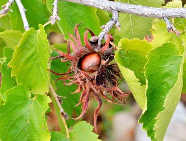 Орех фундук: выращивание и уход