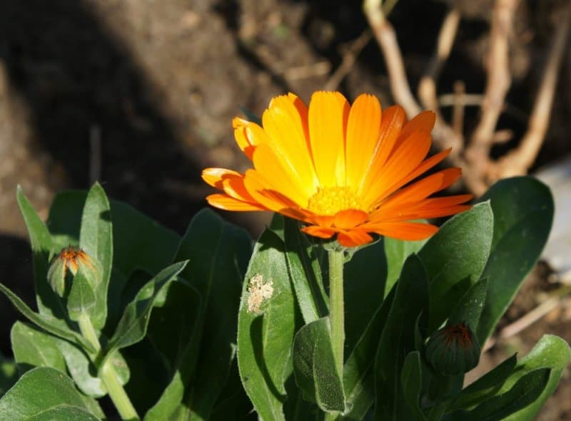 Как избавиться от сорняков сидераты
