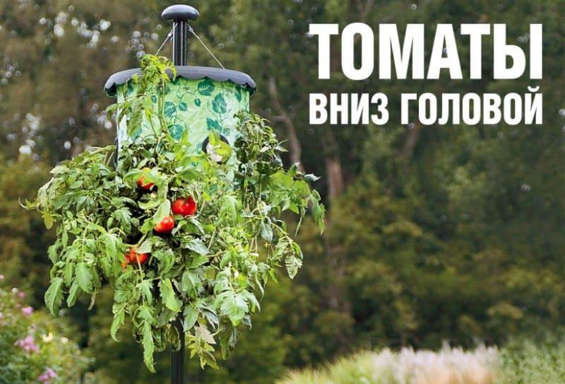 Как вырастить помидоры вверх корнями