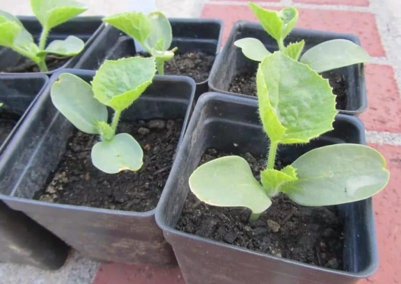 Как вырастить арбуз через рассаду