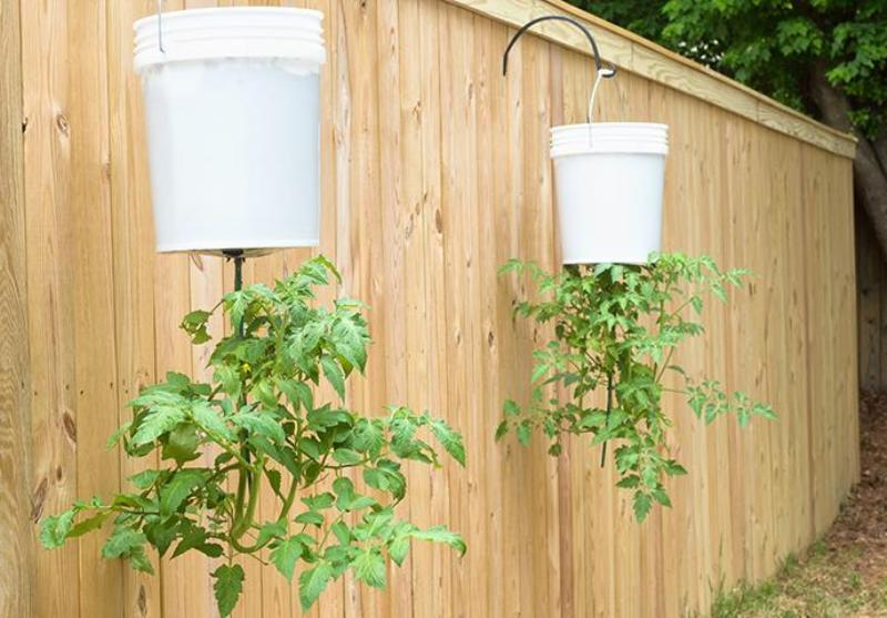 Как вырастить помидоры вверх корнями и ухаживать