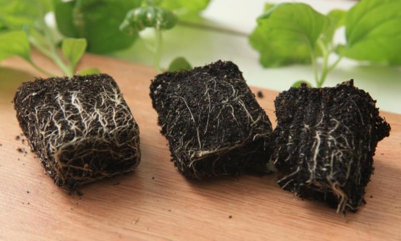 Как вырастить баклажаны в теплице из поликарбоната