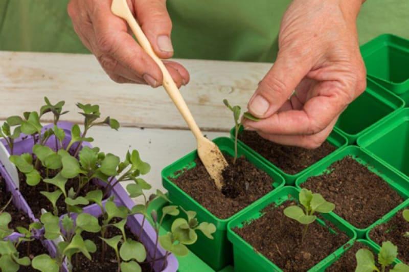 Как выращивать белокочанную капусту: пикировка