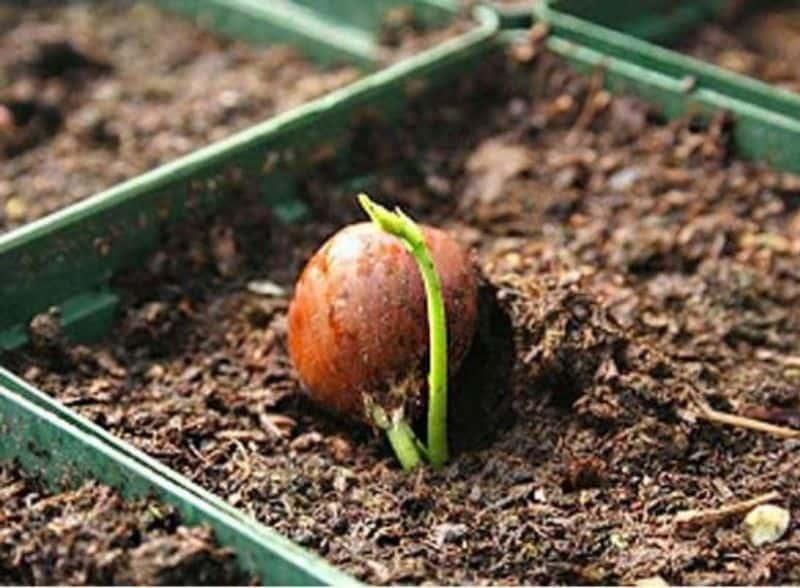 Орех фундук способы выращивания