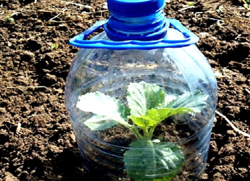 Как выращивать белокочанную капусту безрассадным способом