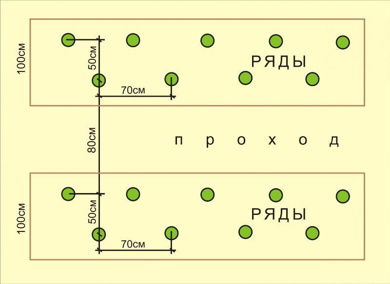 Как вырастить арбуз: схема посадки